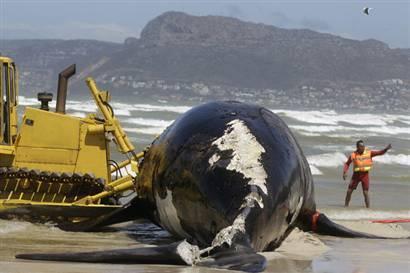 Yeni Zelandiya sahilləri balina qəbiristanlığına çevrildi - 1